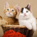 Gatos com conjuntivite